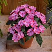 Sunpatiens ® Compact Pink Candy