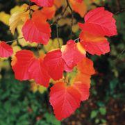 Mount Airy Fothergilla gardenii Shrub
