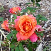 Disneyland® Floribunda Rose