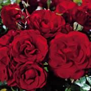 Black Cherry Floribunda Rose