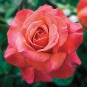 Sedona® Hybrid Tea Rose