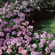 Fragrant Lavender Simplicity Hedge Rose Alternate Image 1