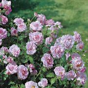 Fragrant Lavender Simplicity Hedge Rose Alternate Image 2