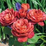 Hot Cocoa™ Floribunda Rose