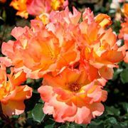 Tropical Sun Floribunda Rose