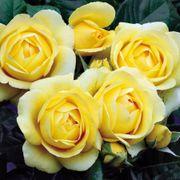 Walking on Sunshine™ Floribunda Rose