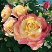 Bellaroma Hybrid Tea Rose