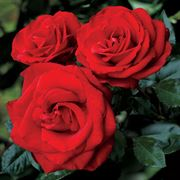 Always and Forever Hybrid Tea Rose