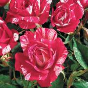 Hypnotized! Hybrid Tea Rose