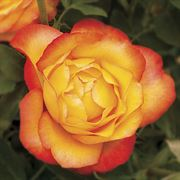 Summer Surprise Hybrid Tea Rose
