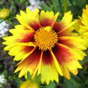 Li'l Bang™ Enchanted Eve Coreopsis