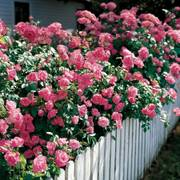 Simplicity Hedge Rose