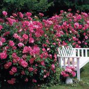 Simplicity Hedge Rose Alternate Image 1
