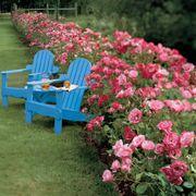 Simplicity Hedge Rose Alternate Image 2