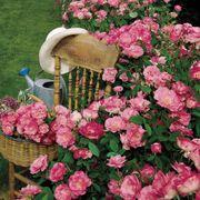 Simplicity Hedge Rose Alternate Image 3