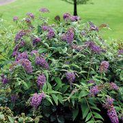 Buddleia Lo & Behold® Purple Haze