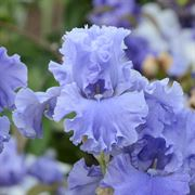 Sea Power Tall Bearded Iris