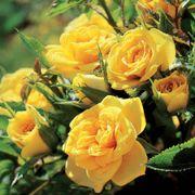 Sun Sprinkles Miniature Rose Alternate Image 1