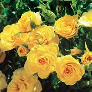 Sun Sprinkles Miniature Rose Alternate Image 2