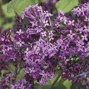 Syringa Bloomerang® Dark Purple Thumb