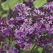 Syringa Bloomerang® Dark Purple