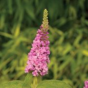Lo & Behold® Pink Micro Chip Buddleia