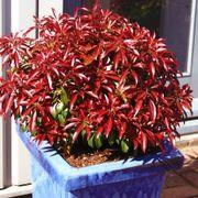 Katsura Pieris japonica Japanese Andromeda Shrub
