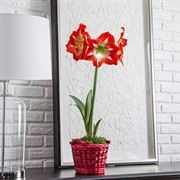 Christmas Magic Amaryllis