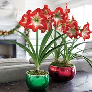 Joy of Christmas Amaryllis