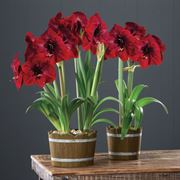 Rustic Holiday Amaryllis