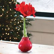 Gloss Red Waxed Amaryllis