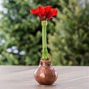 Gloss Copper Waxed Amaryllis