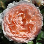 Bliss Parfuma® Grandiflora Rose Thumb