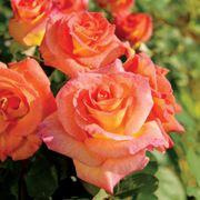 Mardi Gras™ Floribunda Rose