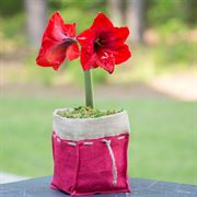 Yuletide Greetings Amaryllis