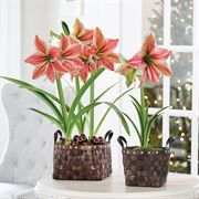 Day in the Garden Amaryllis