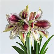 Christmas Love Amaryllis