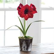 Winter Twilight Amaryllis