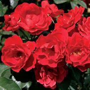 Red Double Knock Out® Shrub Rose Alternate Image 1