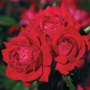 Red Double Knock Out® Shrub Rose Alternate Image 2
