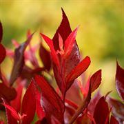 Leafscape™ Little Flames Leucothoe