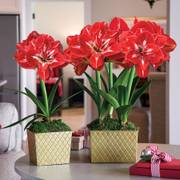 Good Tidings Amaryllis