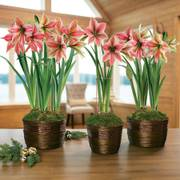 Shimmering Beauty Amaryllis