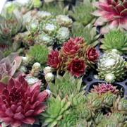 Sempervivum Assorted Thumb