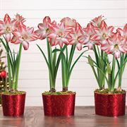 Sweet Treat Amaryllis Thumb