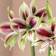 Majestic Star Papilio Amaryllis Alternate Image 3