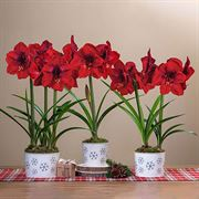 Winter Wishes Red Lion Amaryllis Thumb