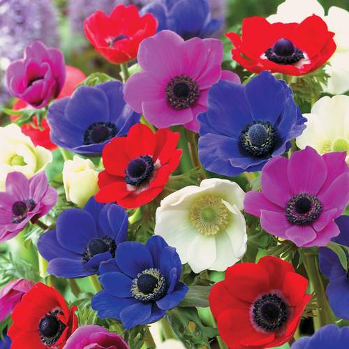 De Caen Poppy Anemone Bulb - Pack of 10