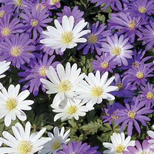 White Splendor Windflower - Pack of 20
