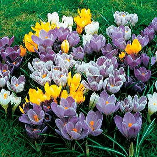 Large-Flowered Crocus Economy Mix - Pack of 10